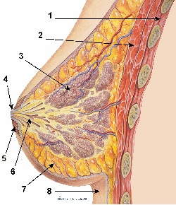 breast anatomy graphic