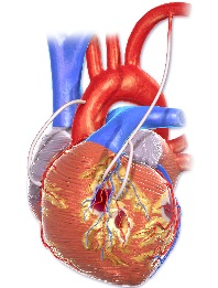 heart anatomy graphic